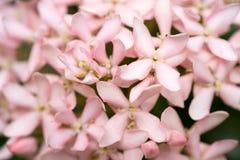 Boeket van witte Ixora-bloem Bloem van de geur de witte aar Stock Foto