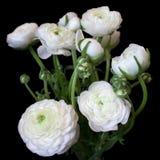 Boeket van witte ranunculus bloemen Stock Foto