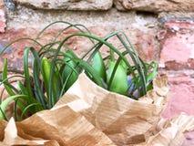 Boekethyacint in Kraftpapier-document op bakstenen muurachtergrond Hyacinten in kraftpapier-Papier royalty-vrije stock foto's