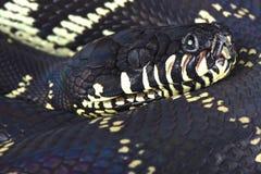 Boelens Pythonschlange (Morelia-boeleni) lizenzfreies stockbild
