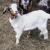 Boer baby buck goat. Buck with his mother royalty free stock images