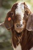 Boer Buck head Stock Image