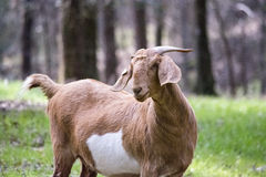 Boer female goat top half. Three-quarters view of a brown and white Boer-cross female goat in a wooded lot stock photos