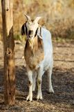 Boer goat Royalty Free Stock Photography