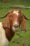Boer Goat. This Boer nanny goat is pictured in a rural farm environment stock photos