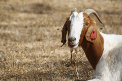 Boer goat. Grazing in the sun royalty free stock photography