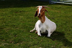 Boer goat Stock Photography