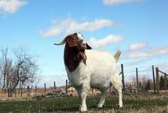 Boer Goat Buck. Full grown purebred African Boer Goat male (buck) standing in the pasture Stock Image