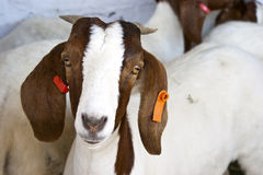 Boer Goat. A close up of a boer goat royalty free stock images