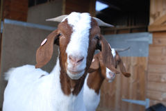Boer Goat Close Up Royalty Free Stock Photo