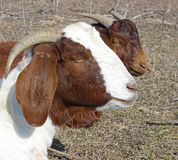 African Boer Goat Doe. Closeup of a Boer goat doe royalty free stock images
