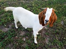 Boer goat doe. Full body shot of boer goat doe looking up royalty free stock images