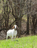 Boer Goat Doe. A boer goat doe in the pasture royalty free stock images