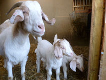 Boer Goat Family White. Family of Boer Goats including mother and 2 kids stock image
