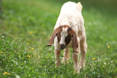Boer goat. The boer goat on the grass royalty free stock photography