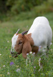 Boer goat grazing. In the summer on alfalfa royalty free stock photo