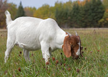 Boer Goat grazing in fall. Young African Boer Goat doe out grazing in grass and clover on a sunny fall afternoon stock image