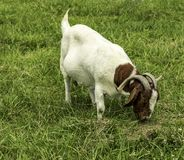 A boer goat grazing in a pasture. It appears it is enjoying a healthy meal royalty free stock image