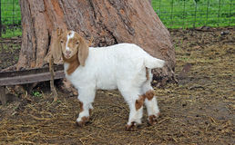 African Boer Goat Kid. Adorable African Boer goat kid doe royalty free stock images