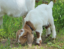 Boer Goat Kid. A newborn boer goat doe kid sniffing the grass stock images