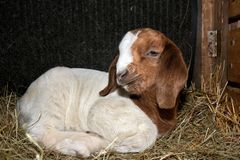 Boer Goat Kid resting in the hay. Baby African Boer Goat kid resting comfortably in some fluffy hay royalty free stock images