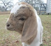 Boer goat kid. Young Male boer goat stock images