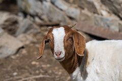 Boer Goat in Pasture. Boer goat in a pasture. This breed of goat that was developed in South Africa in the early 1900s for meat production. Their name is derived stock image