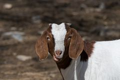 Boer Goat in Pasture. Boer goat in a pasture. This breed of goat that was developed in South Africa in the early 1900s for meat production. Their name is derived stock photos