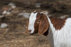 Boer Goat in Pasture. Boer goat in a pasture. This breed of goat that was developed in South Africa in the early 1900s for meat production. Their name is derived royalty free stock photos