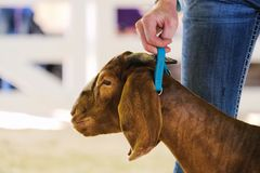 Boer goat portrait at show. Boer goat at county show with girl showing close up, brown animal head for portrait royalty free stock photos