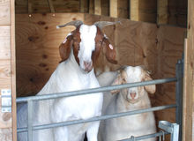Boer Goats behind gate in pen Stock Image