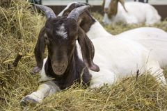 Goat. Boer breed. Boer goats is a breed that was bred in the early 20th century.Determine the breed of goat can be the color of the hair on the head, it is royalty free stock image