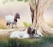 Boer goats mother and babies Royalty Free Stock Image