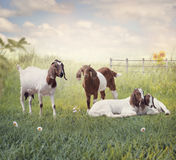 Boer goats mother and babies resting Stock Images