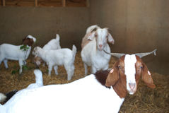 Boer Goats White and brown in pen Stock Images