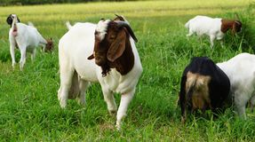 Boer 100 white goat. With him wifes in The field stock photography