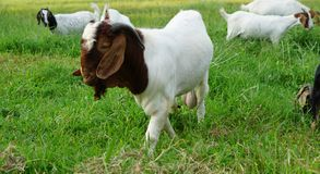 Boer 100 white goat royalty free stock image