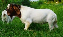 Boer 100 white goat stock photography