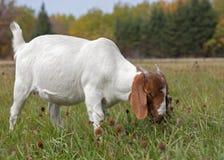 Boer-Ziege, die im Fall weiden lässt Stockbild