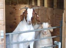 Boer-Ziegen hinter Tor im Stift Stockbild