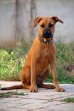 Boerboel画象-美洲叭喇对Boerboel -德国牧羊犬混杂的品种小狗 库存图片