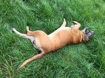 Boerboel,南非大型猛犬 图库摄影