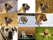 BoerBoel - μεγάλο σκυλί από τη Νότια Αφρική Στοκ Φωτογραφία