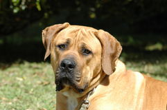 Boerboel Royalty Free Stock Image