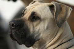 Boerboel. South african boerboel guarding dog Stock Image