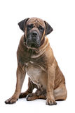 Boerboel Royalty Free Stock Images