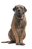 Boerboel Royalty Free Stock Photography