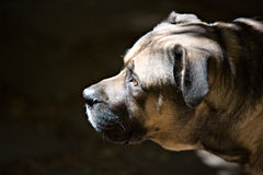 Boerboel photos stock