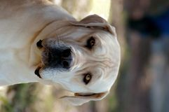 Boerboel Royalty Free Stock Photo
