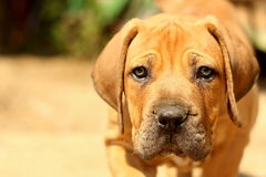 Boerboel Fotos de Stock